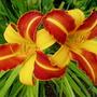 Double bloom of Hemerocallis 'Frans Hals'