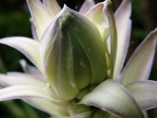 hosta flower bud (Hosta fortunei)