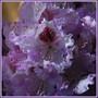 La vie en parme rhododendron