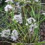 Alliumschmitzii.jpg