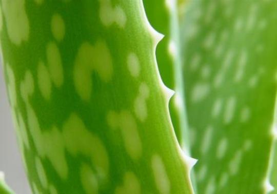 aloe vera (Aloe vera)