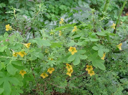 Tropaeolum ciliatum - 2012 (Tropaeolum ciliatum)