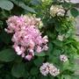 Hydrangea_serrata_preziosa_2012