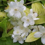 Philadelphusflowers