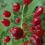 Red Baneberry (Actaea pachypoda (Baneberry))