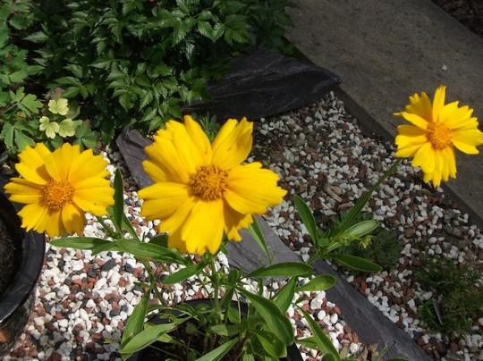 Coreopsis Sunburst - for my records (Coreopsis sunburst)