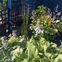 The hosta garden...