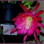 Fleur de cactus phyllanthoides Nopalxochia 2