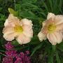 Hemerocallis_daylily_bunny_puff_