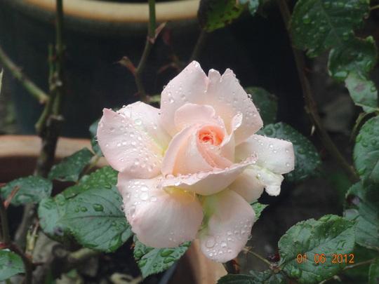Bloom of Ruth (Hybrid tea rose)