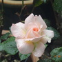 Bloom of Ruth (Hybrid tea rose)