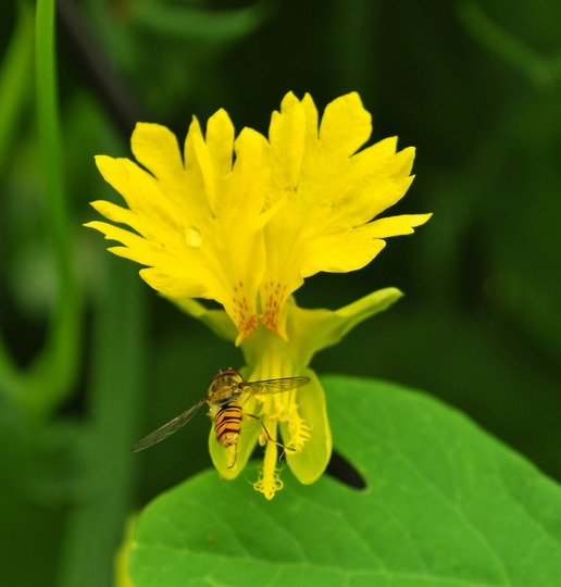 Trapaeolum peregrinum (Canary creeper)with hoverfly...... (Tropaeolum peregrinum (Canary creeper))