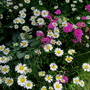 Daisies and Sweet William (dianthus barbatus daisies)