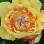 Paeonia Itoh hybrid Border Charm (Paeonia)