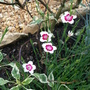 Dianthus deltoides 'Artic Fire' (Dianthus deltoides)