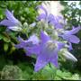 Campanula Flower