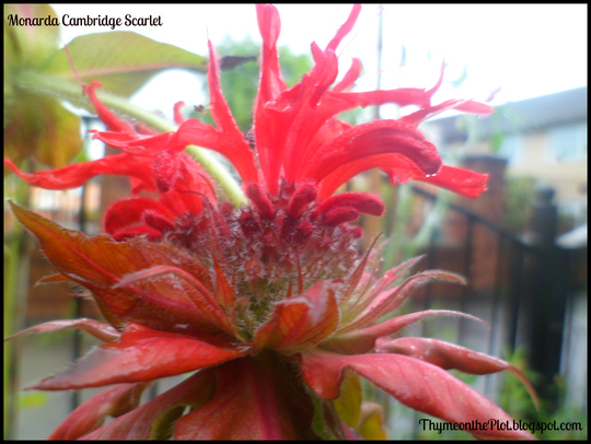 Monarda Cambridge Scarlet