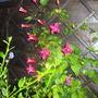 Garden_2nd_july_2012_008