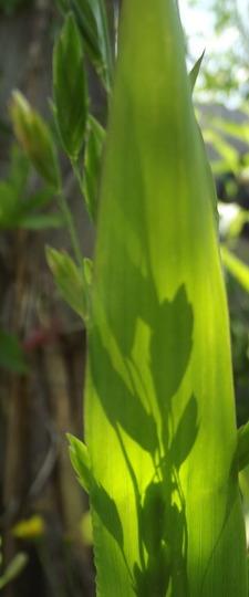 Latifoleum Grass Silhouette