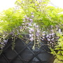 Chinese Wisteria Black Dragon