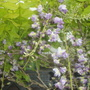Wisteria in Flower May 18th 2012 003