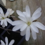 Star Magnolia (Magnolia stellata (Star magnolia))