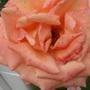 Orange roses 12