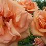 orange roses 2012