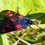 Narrow-bordered Five-spot Burnet Zygaena lonicerae