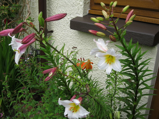 Lilies saved from last year by the kitchen door.