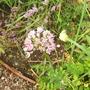 Alliumsenescens.jpg