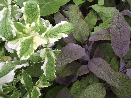 Sage foliage