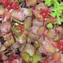 sedum (Sedum spurium)