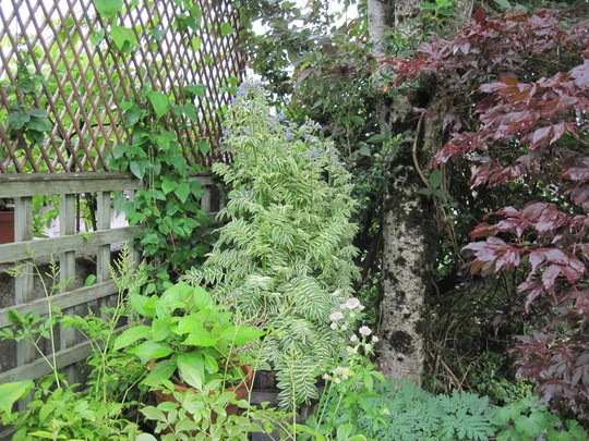 Jacobs Ladder - Brise d'anjou (Polemonium caeruleum (Jacob's ladder))