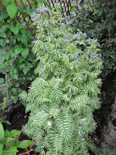 Polemonium Caeruleum - Brise d'anjou (Polemonium caeruleum (Jacob's ladder))