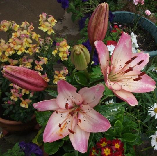 Lilium Rosella's Dream, planted last year. (Lilium 'Rosella's Dream')