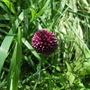 Alliumsphaerocephalum.jpg
