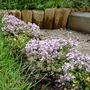 Creeping Thyme - New plant (Thymus serpyllum (Creeping thyme))