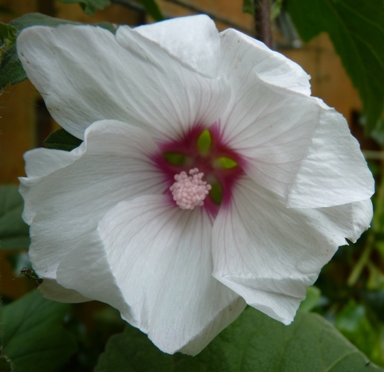 Another new plant for this year... (Lavatera x clementii (Tree mallow))