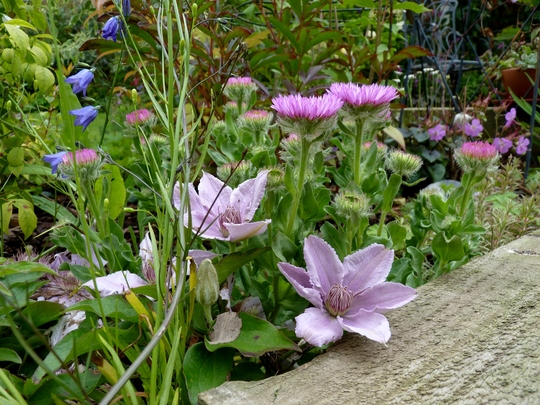 Clematis 'Filigree' with Erigeron Glaucous 'See Breeze'