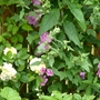 Another new Lavatera this year with Rosa 'The Pilgrim' (Lavatera x clementii (Tree mallow))