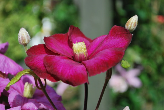 Clematis Rouge Cardinal or Sunset!! (Clematis Rouge Cardinal)
