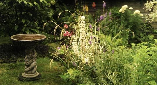 white lupins round the pond