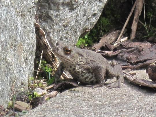 Little slug-eating toad.