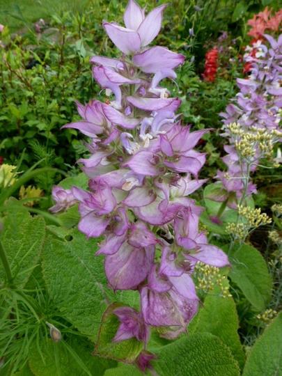 Salvia Turkestanica