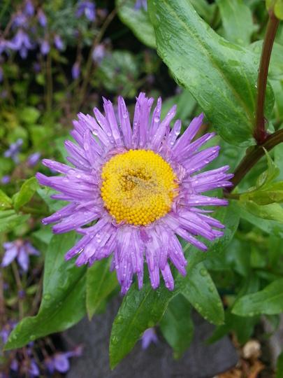 Erigeron (Erigeron speciosus)