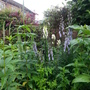 Aconitum and Veronicastrum (Aconitum spicatum &#x27;Stainless Steel&#x27;)