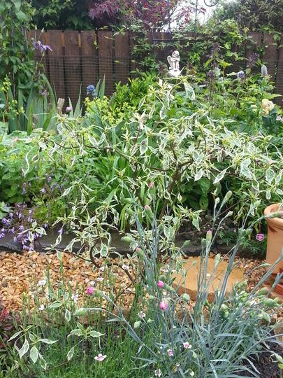 Cornus alternifolia 'Argentea' (Cornus alternifolia)