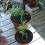 Leylandii_seedlings_001