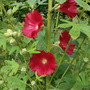 Hollyhock alcea rosea 'old barnyard Red' (Hollyhock alcea rosea old barnyard Red)